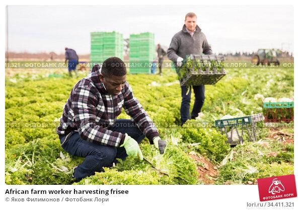 African farm worker harvesting frisee. Стоковое фото, фотограф Яков Филимонов / Фотобанк Лори