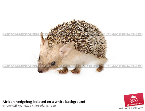 Купить «African hedgehog isolated on a white background», фото № 25799457, снято 7 марта 2017 г. (c) Алексей Кузнецов / Фотобанк Лори
