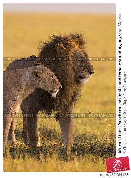 African Lions (Panthera leo), male and female standing in grass, Maasai Mara National Reserve, Kenya. Стоковое фото, фотограф Christina Krutz / age Fotostock / Фотобанк Лори