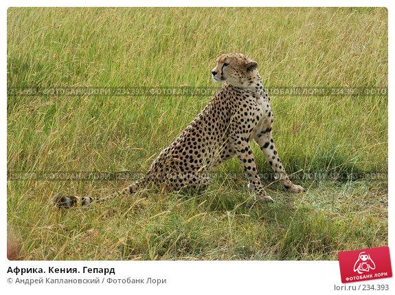 Африка. Кения. Гепард, фото № 234393, снято 13 февраля 2005 г. (c) Андрей Каплановский / Фотобанк Лори