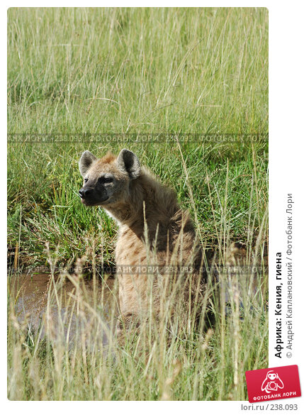 Африка: Кения, гиена, фото № 238093, снято 15 февраля 2005 г. (c) Андрей Каплановский / Фотобанк Лори