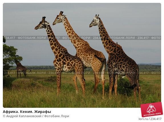 Африка. Кения. Жирафы, фото № 234417, снято 13 февраля 2005 г. (c) Андрей Каплановский / Фотобанк Лори
