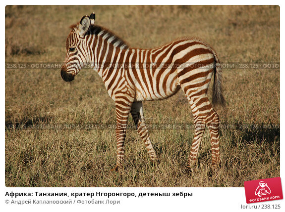 Африка: Танзания, кратер Нгоронгоро, детеныш зебры, фото № 238125, снято 18 февраля 2005 г. (c) Андрей Каплановский / Фотобанк Лори