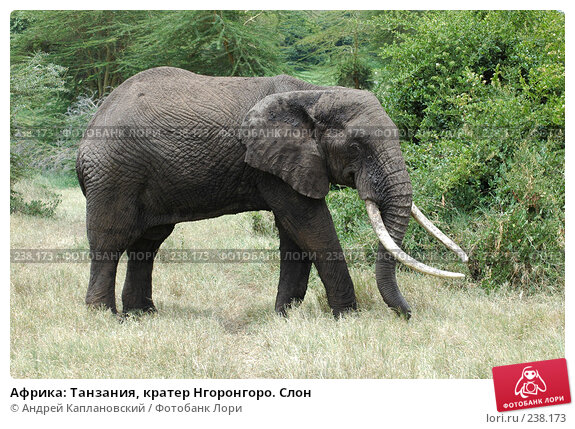 Африка: Танзания, кратер Нгоронгоро. Слон, фото № 238173, снято 18 февраля 2005 г. (c) Андрей Каплановский / Фотобанк Лори
