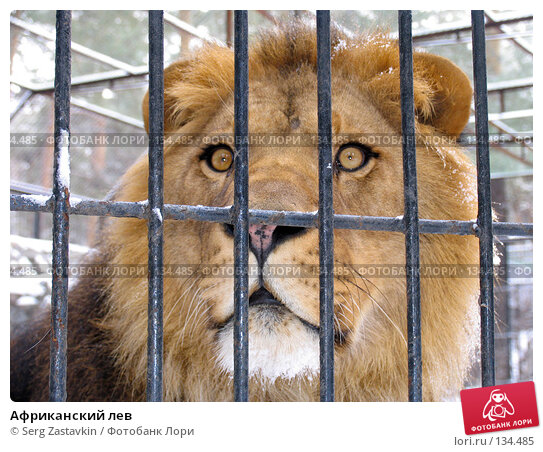 Африканский лев, фото № 134485, снято 7 ноября 2004 г. (c) Serg Zastavkin / Фотобанк Лори