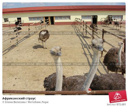 Купить «Африканский страус», фото № 872681, снято 11 мая 2009 г. (c) Елена Велесова / Фотобанк Лори