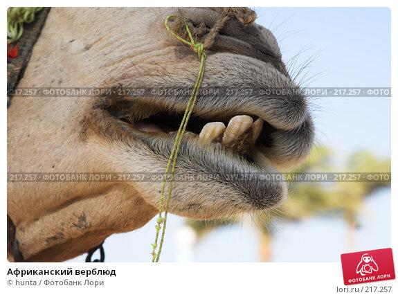 Африканский верблюд, фото № 217257, снято 20 сентября 2007 г. (c) hunta / Фотобанк Лори
