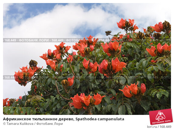 Африканское тюльпанное дерево, Spathodea campanulata, фото № 168449, снято 30 декабря 2007 г. (c) Tamara Kulikova / Фотобанк Лори