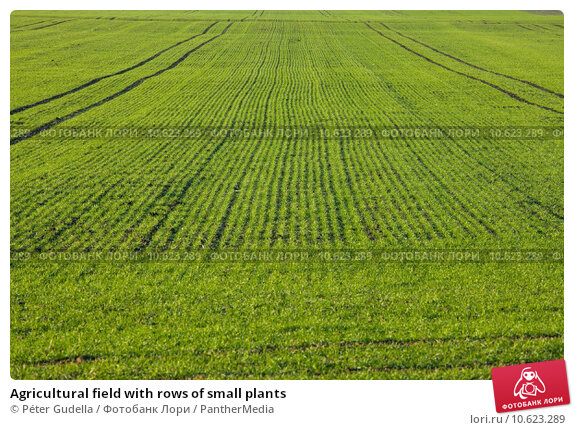Agricultural field with rows of small plants. Стоковое фото, фотограф Péter Gudella / PantherMedia / Фотобанк Лори
