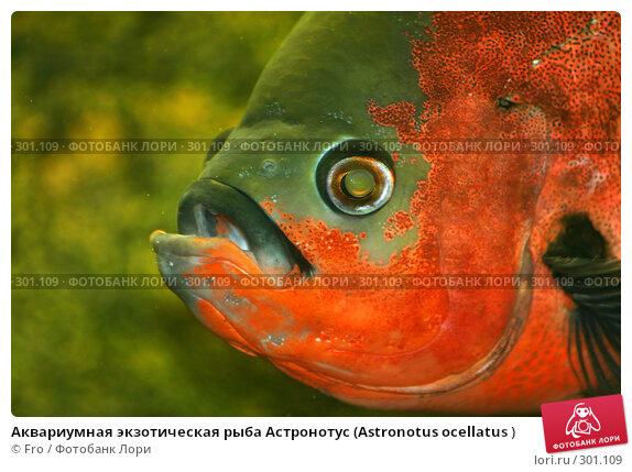 Купить «Аквариумная экзотическая рыба Астронотус (Astronotus ocellatus )», фото № 301109, снято 22 августа 2007 г. (c) Fro / Фотобанк Лори