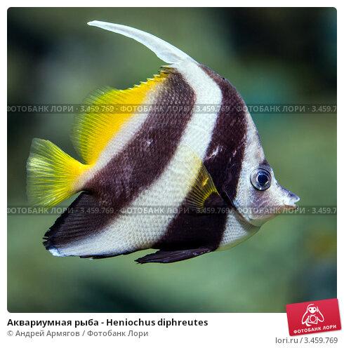 Купить «Аквариумная рыба - Heniochus diphreutes», фото № 3459769, снято 24 января 2012 г. (c) Андрей Армягов / Фотобанк Лори