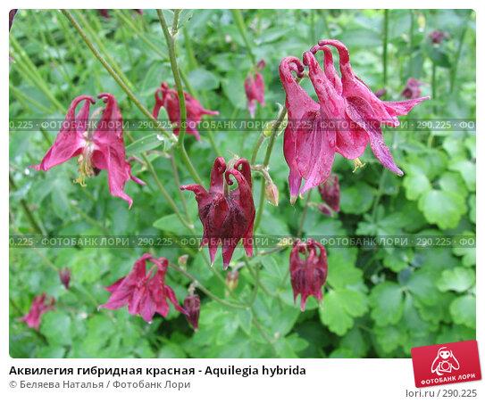 Купить «Аквилегия гибридная красная - Aquilegia hybrida», фото № 290225, снято 24 июня 2006 г. (c) Беляева Наталья / Фотобанк Лори