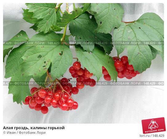 Алая гроздь, калины горькой, фото № 148429, снято 26 августа 2007 г. (c) Иван / Фотобанк Лори