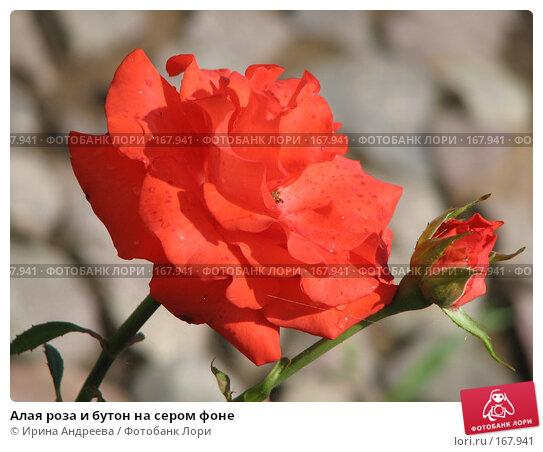 Алая роза и бутон на сером фоне, фото № 167941, снято 4 июля 2007 г. (c) Ирина Андреева / Фотобанк Лори