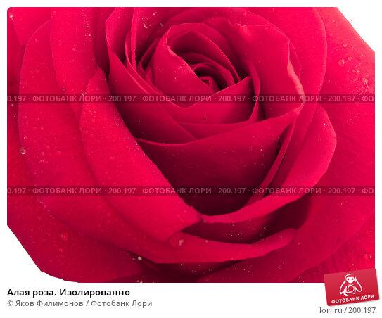 Алая роза. Изолированно, фото № 200197, снято 8 февраля 2008 г. (c) Яков Филимонов / Фотобанк Лори