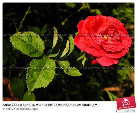 Алая роза с зелеными листочками под ярким солнцем, фото № 67105, снято 11 июня 2004 г. (c) Harry / Фотобанк Лори