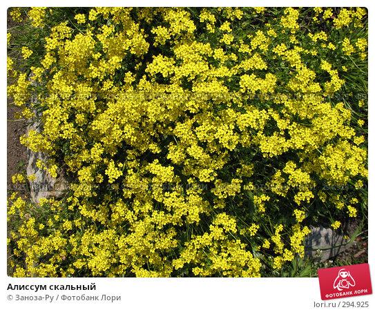 Алиссум скальный, фото № 294925, снято 17 мая 2008 г. (c) Заноза-Ру / Фотобанк Лори