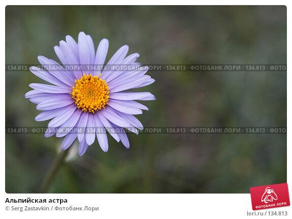 Альпийская астра, фото № 134813, снято 2 июля 2006 г. (c) Serg Zastavkin / Фотобанк Лори