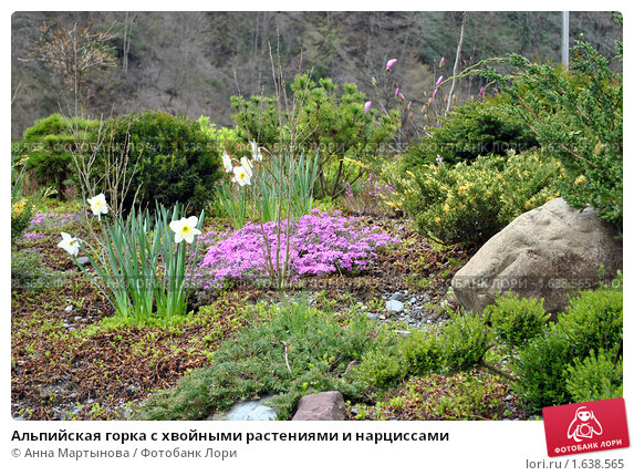 Купить «Альпийская горка с хвойными растениями и нарциссами», фото № 1638565, снято 15 апреля 2010 г. (c) Анна Мартынова / Фотобанк Лори