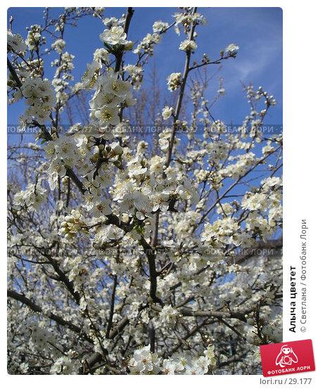 Алыча цветет, фото № 29177, снято 1 апреля 2007 г. (c) Светлана / Фотобанк Лори