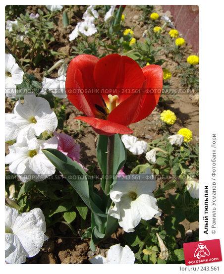 Алый тюльпан, фото № 243561, снято 2 апреля 2008 г. (c) Рамиль Усманов / Фотобанк Лори