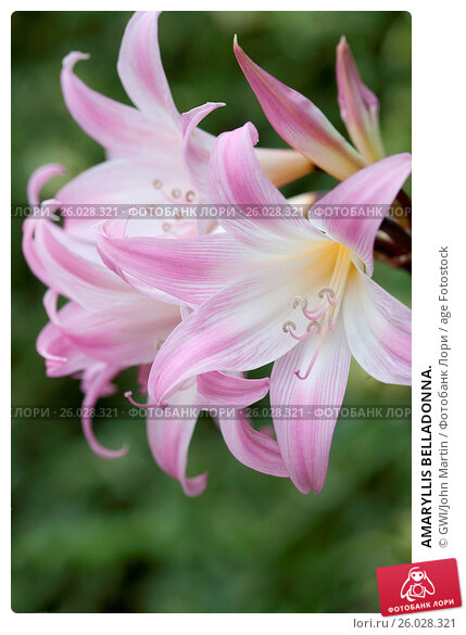 Купить «AMARYLLIS BELLADONNA.», фото № 26028321, снято 6 сентября 2014 г. (c) age Fotostock / Фотобанк Лори