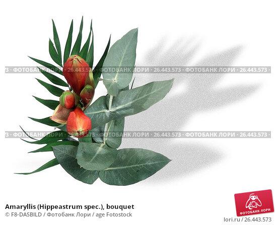 Купить «Amaryllis (Hippeastrum spec.), bouquet», фото № 26443573, снято 22 мая 2019 г. (c) age Fotostock / Фотобанк Лори