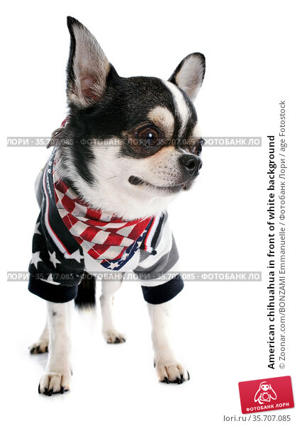American chihuahua in front of white background. Стоковое фото, фотограф Zoonar.com/BONZAMI Emmanuelle / age Fotostock / Фотобанк Лори