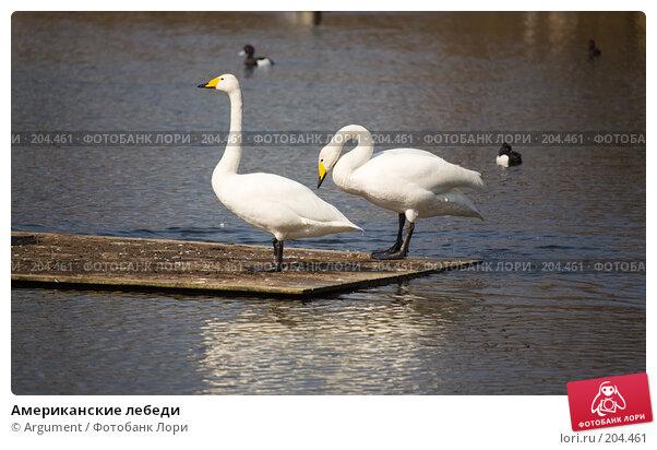 Американские лебеди, фото № 204461, снято 17 апреля 2007 г. (c) Argument / Фотобанк Лори