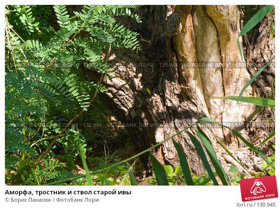 Аморфа, тростник и ствол старой ивы, фото № 130945, снято 17 августа 2007 г. (c) Борис Панасюк / Фотобанк Лори