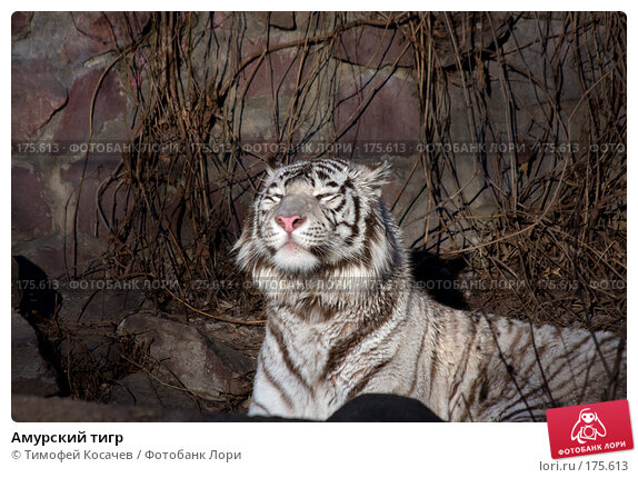 Амурский тигр, фото № 175613, снято 3 января 2008 г. (c) Тимофей Косачев / Фотобанк Лори