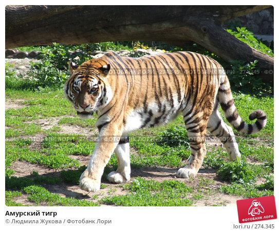 Амурский тигр, фото № 274345, снято 3 мая 2008 г. (c) Людмила Жукова / Фотобанк Лори