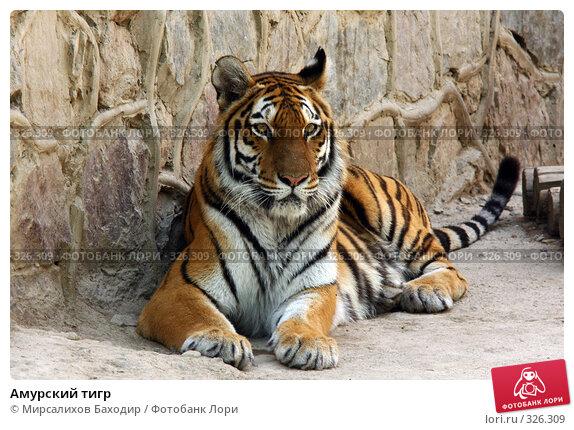 Амурский тигр, фото № 326309, снято 15 июня 2008 г. (c) Мирсалихов Баходир / Фотобанк Лори