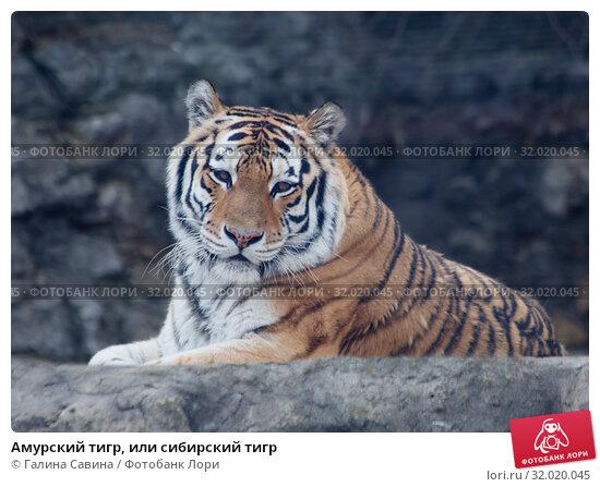 Купить «Амурский тигр, или сибирский тигр», фото № 32020045, снято 25 октября 2016 г. (c) Галина Савина / Фотобанк Лори
