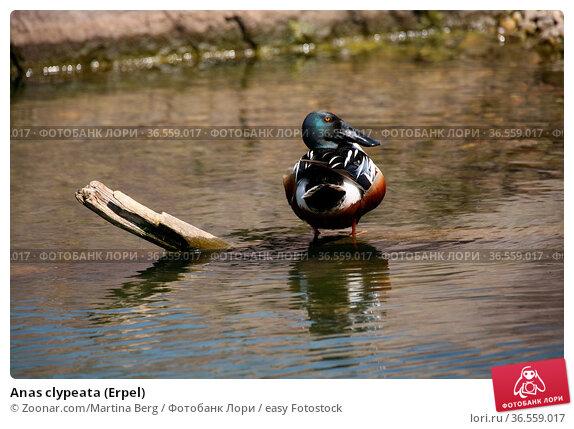 Anas clypeata (Erpel) Стоковое фото, фотограф Zoonar.com/Martina Berg / easy Fotostock / Фотобанк Лори