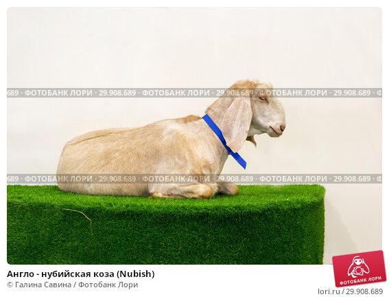 Купить «Англо - нубийская коза (Nubish)», фото № 29908689, снято 6 февраля 2019 г. (c) Галина Савина / Фотобанк Лори