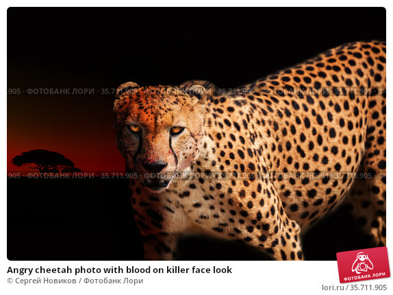 Angry cheetah photo with blood on killer face look. Стоковое фото, фотограф Сергей Новиков / Фотобанк Лори