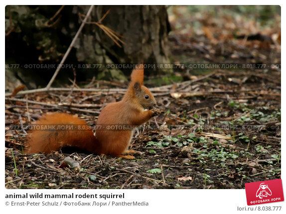 Купить «animal wild mammal rodent squirrel», фото № 8038777, снято 19 марта 2019 г. (c) PantherMedia / Фотобанк Лори