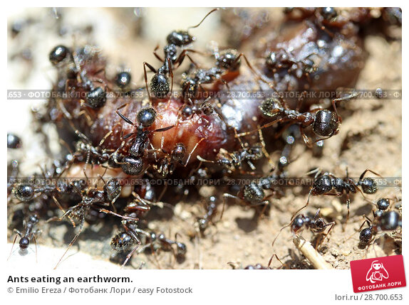 Купить «Ants eating an earthworm.», фото № 28700653, снято 31 мая 2018 г. (c) easy Fotostock / Фотобанк Лори