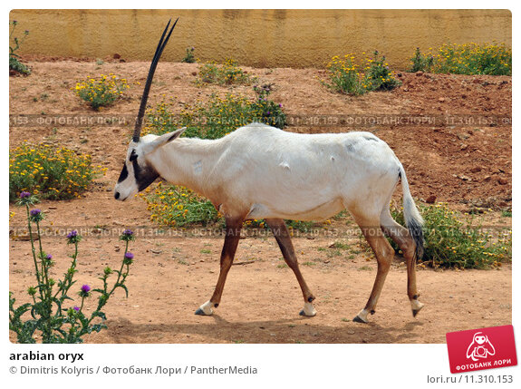 Купить «arabian oryx», фото № 11310153, снято 23 мая 2019 г. (c) PantherMedia / Фотобанк Лори