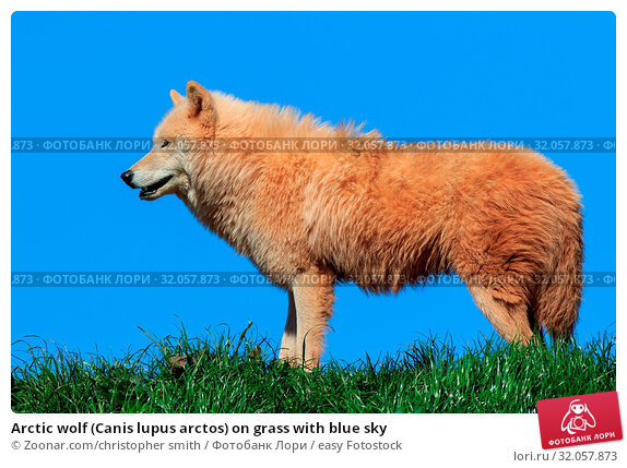 Arctic wolf (Canis lupus arctos) on grass with blue sky. Стоковое фото, фотограф Zoonar.com/christopher smith / easy Fotostock / Фотобанк Лори
