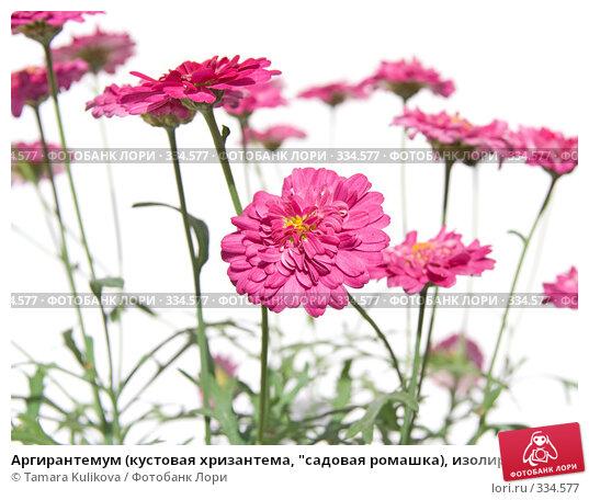 """Аргирантемум (кустовая хризантема, """"садовая ромашка), изолированное изображение, фото № 334577, снято 25 июня 2008 г. (c) Tamara Kulikova / Фотобанк Лори"""