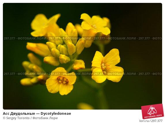 Асс Двудольные — Dycotyledoneae, фото № 297377, снято 11 мая 2008 г. (c) Sergey Toronto / Фотобанк Лори