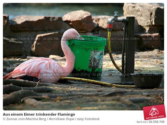 Aus einem Eimer trinkender Flamingo. Стоковое фото, фотограф Zoonar.com/Martina Berg / easy Fotostock / Фотобанк Лори