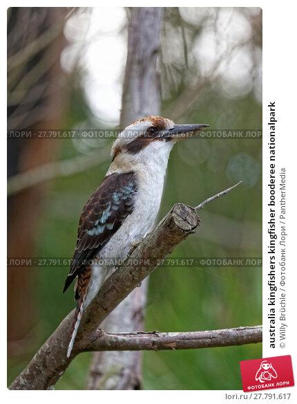 Купить «australia kingfishers kingfisher booderee nationalpark», фото № 27791617, снято 22 февраля 2018 г. (c) PantherMedia / Фотобанк Лори