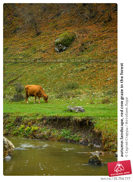 autumn landscape, red cow graze in the forest. Стоковое фото, фотограф Сергей Старуш / Фотобанк Лори