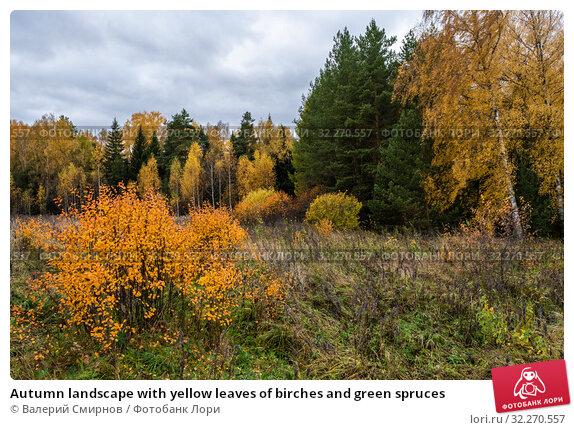Купить «Autumn landscape with yellow leaves of birches and green spruces», фото № 32270557, снято 5 октября 2019 г. (c) Валерий Смирнов / Фотобанк Лори