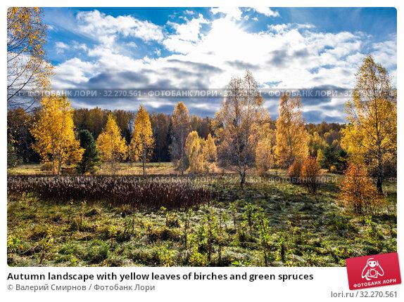 Купить «Autumn landscape with yellow leaves of birches and green spruces», фото № 32270561, снято 5 октября 2019 г. (c) Валерий Смирнов / Фотобанк Лори