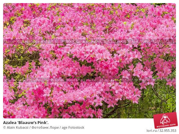 Azalea 'Blaauw's Pink'. Стоковое фото, фотограф Alain Kubacsi / age Fotostock / Фотобанк Лори