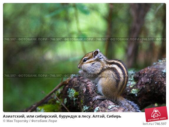 Купить «Азиатский, или сибирский, бурундук в лесу. Алтай, Сибирь», фото № 746597, снято 20 июля 2008 г. (c) Max Toporsky / Фотобанк Лори